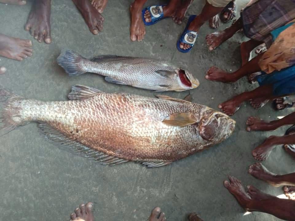 টেকনাফে জেলের বড়শিতে ধরা পড়ল ২৮ কেজির রুপালি পোয়া মাছ