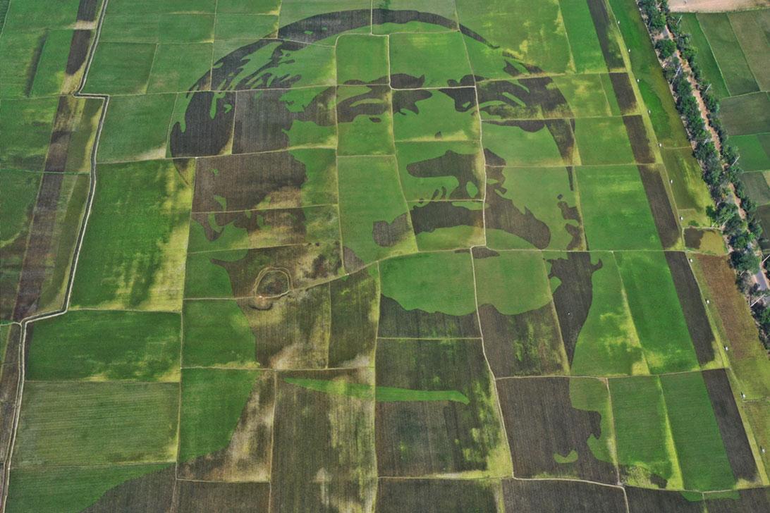 ধান ক্ষেতে বঙ্গবন্ধুর সবচেয়ে বড় প্রতিকৃতি' : গিনেস বুকে রেকর্ডের অপেক্ষা
