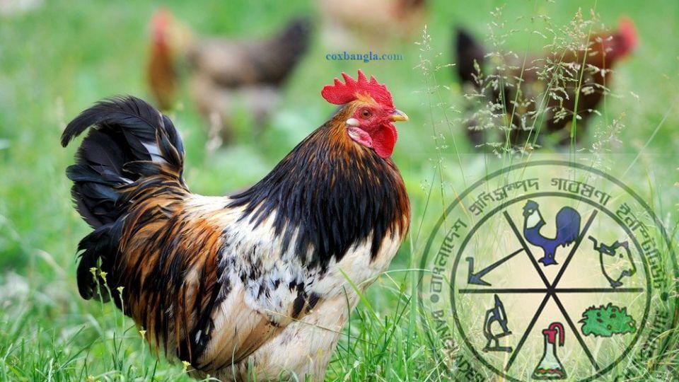 chicken-new-BLRI.jpg