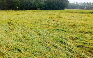 rice-down-cyclone.jpg